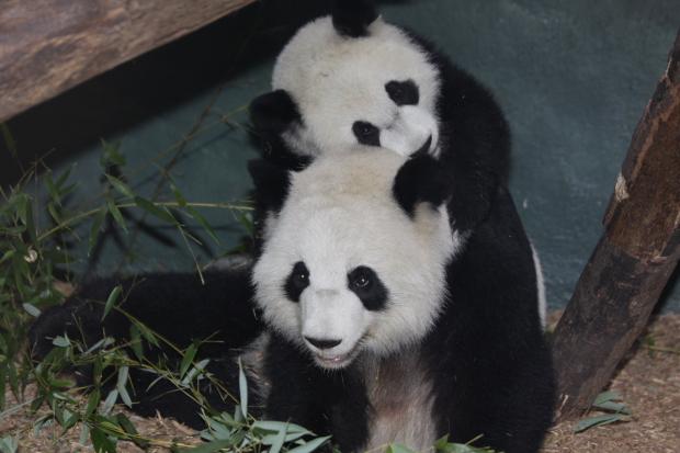 2009-10-06-Zoo-Atlanta-Lun-Lun-Xi-Lan-0064
