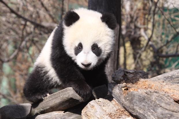 2011-03-24-Tiergarten-Schonbrunn-Zoo-Vienna-Yang-Yang-Fu-Hu-016