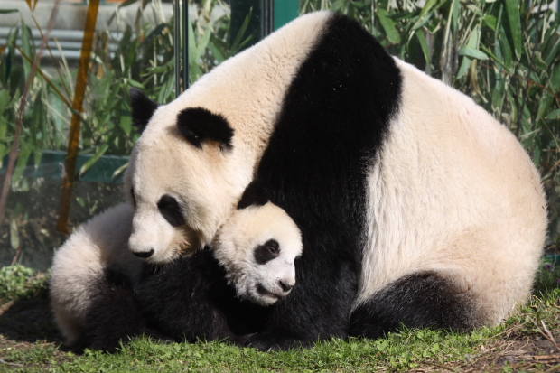 2011-03-24-Tiergarten-Schonbrunn-Zoo-Vienna-Yang-Yang-Fu-Hu-025