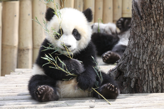 explore baby panda eating bamboo today s homepage