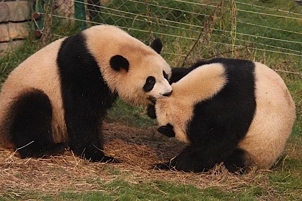 2011-11-10-Changsha-Ecological-Zoo-Bei-Bei-Da-Mao-040