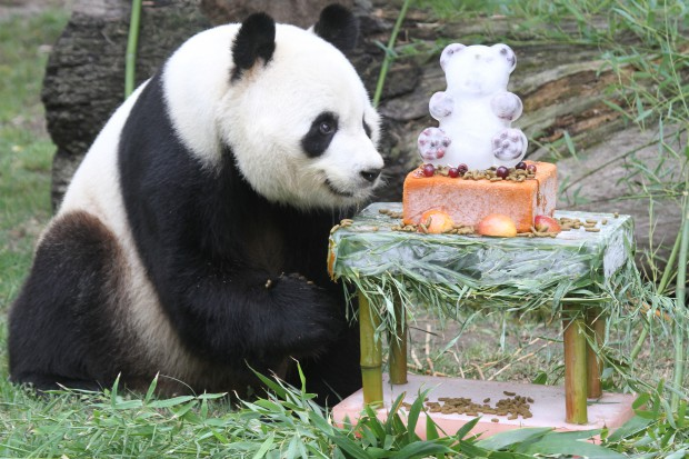 2014-09-06-Zoo-Madrid-Panda-Birthday-Party-Bing-Xing-015-620x413
