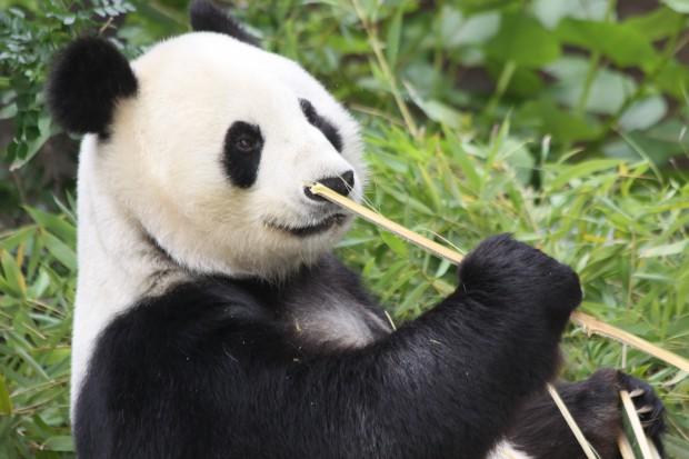 2011-06-01-San-Diego-Zoo-Bai-Yun-004-620x413