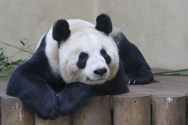 2012-04-03-Edinburgh-Zoo-Tian-Tian-021-620x413