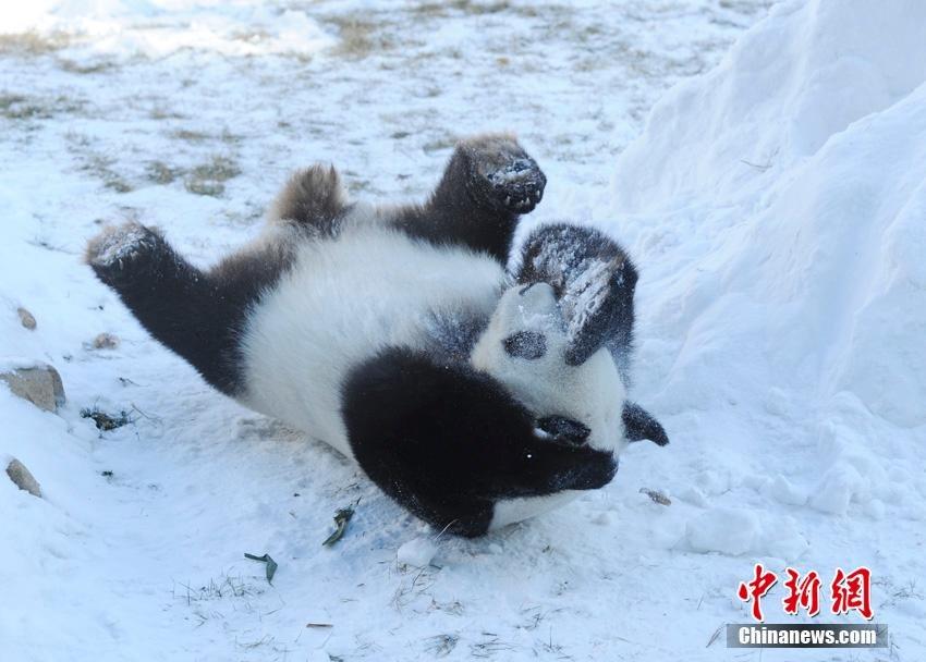 changchun-pandas1