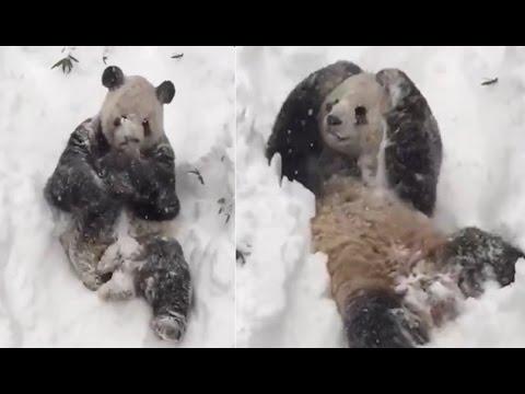 Tian Tian Snow Blizzard 2016