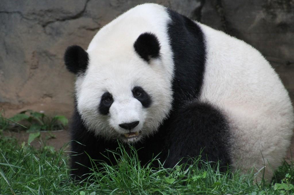 2014 05 19 Zoo Atlanta - Lun Lun, Mei Lun & Mei Huan 004