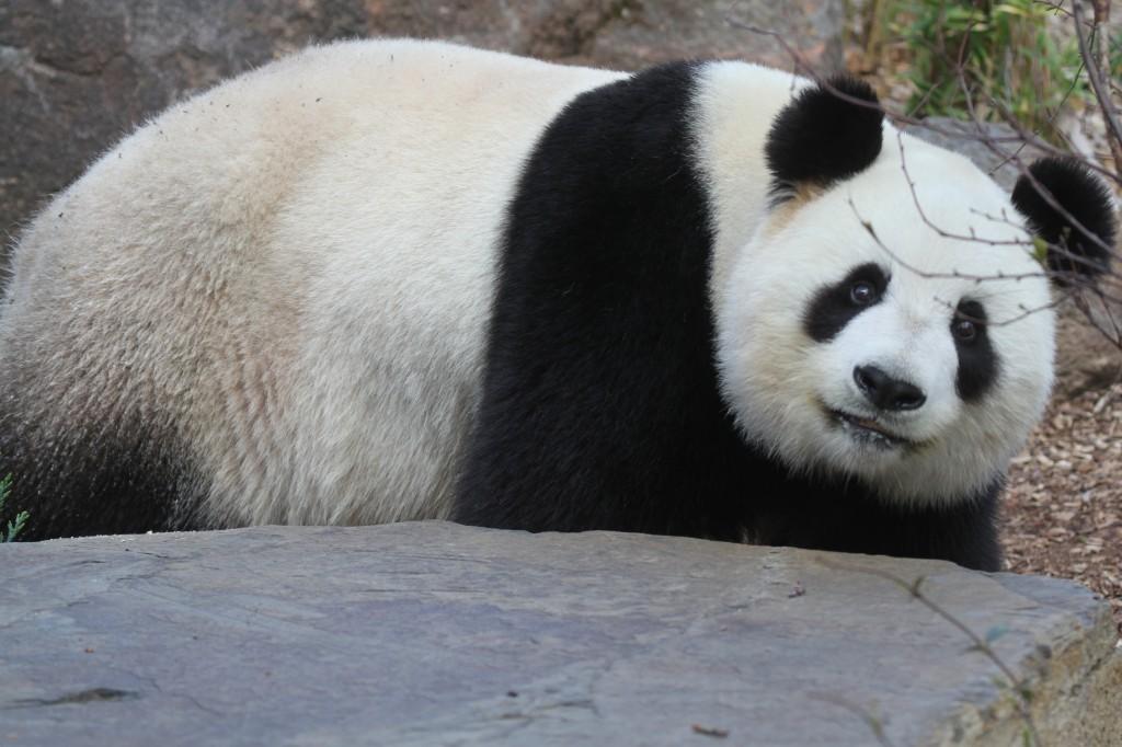 2014 09 19 Adelaide Zoo - Fu Ni 012