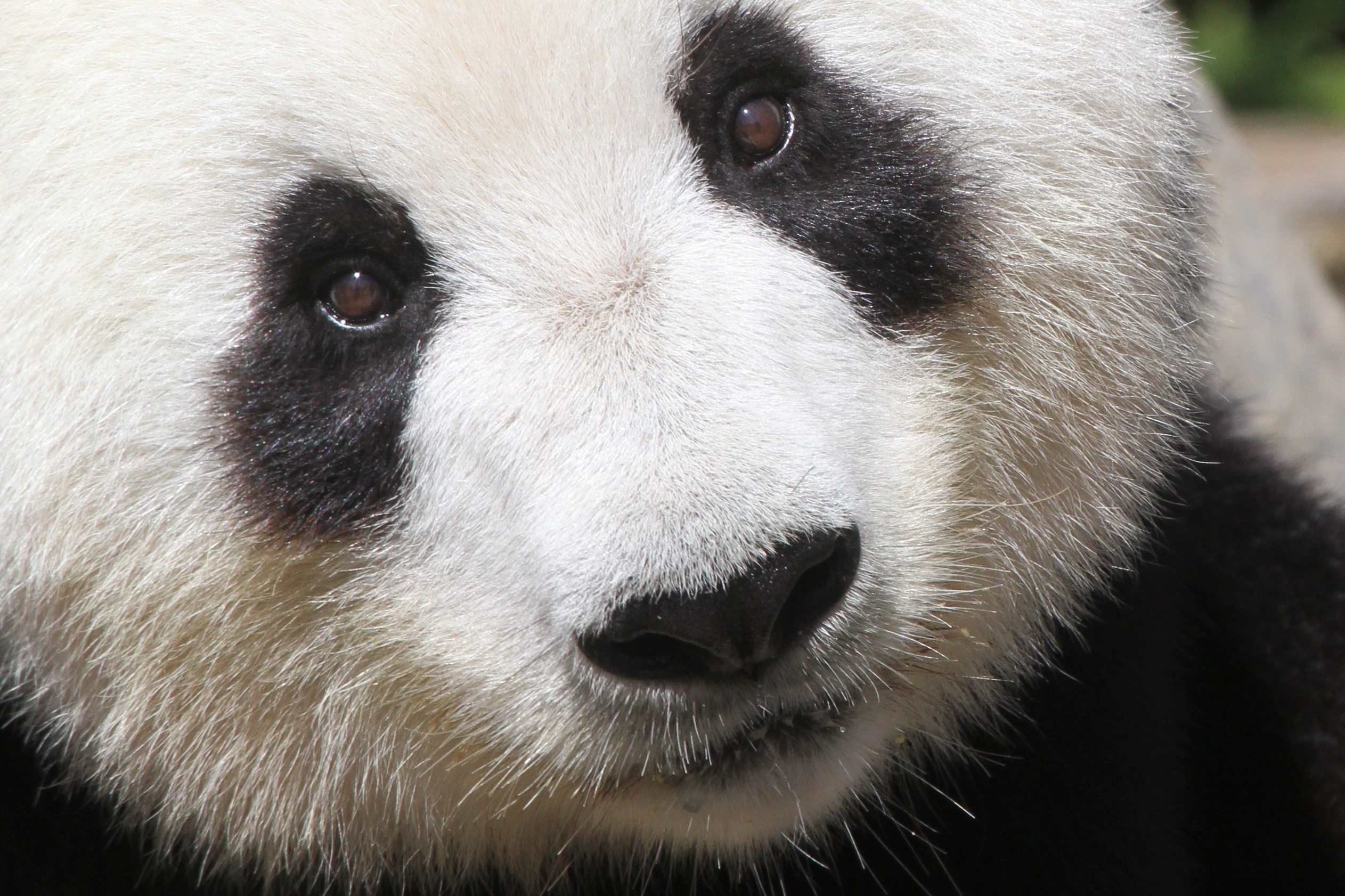 No cub for Fu Ni in 2016