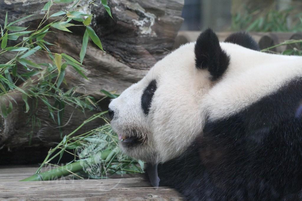 Ueno Zoo - Shin Shin 005