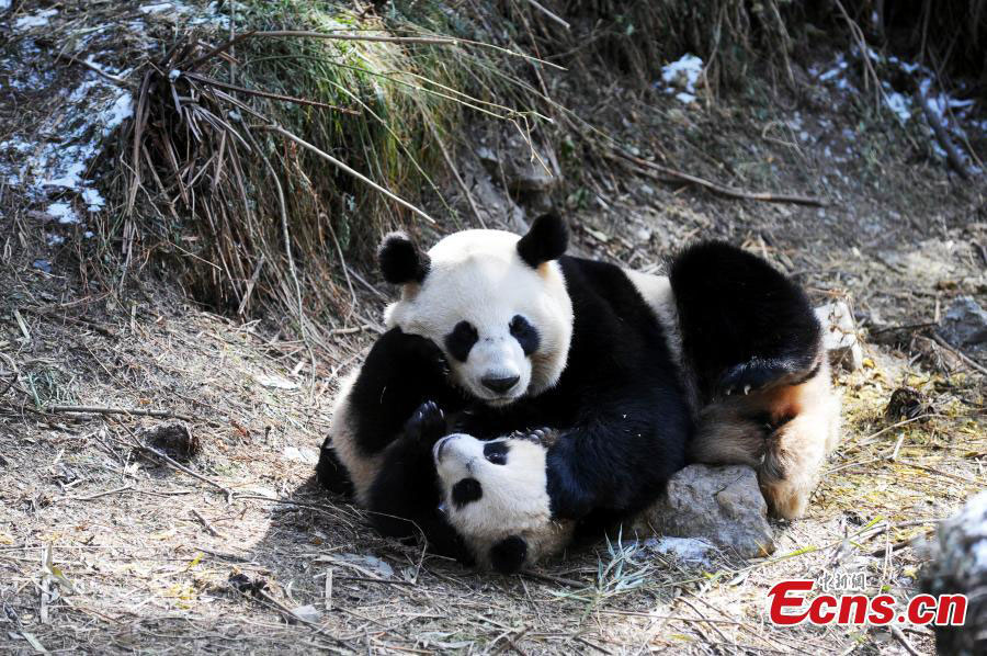 Release Panda in the wild