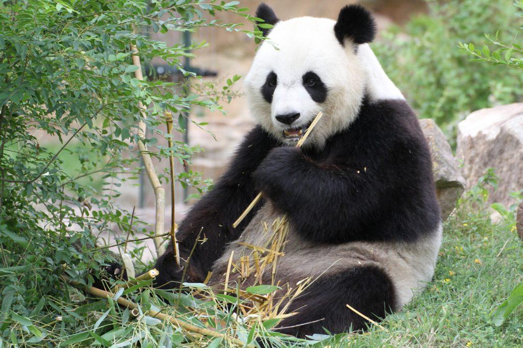 2015 07 23 ZooParc de Beauval - Huan Huan 010