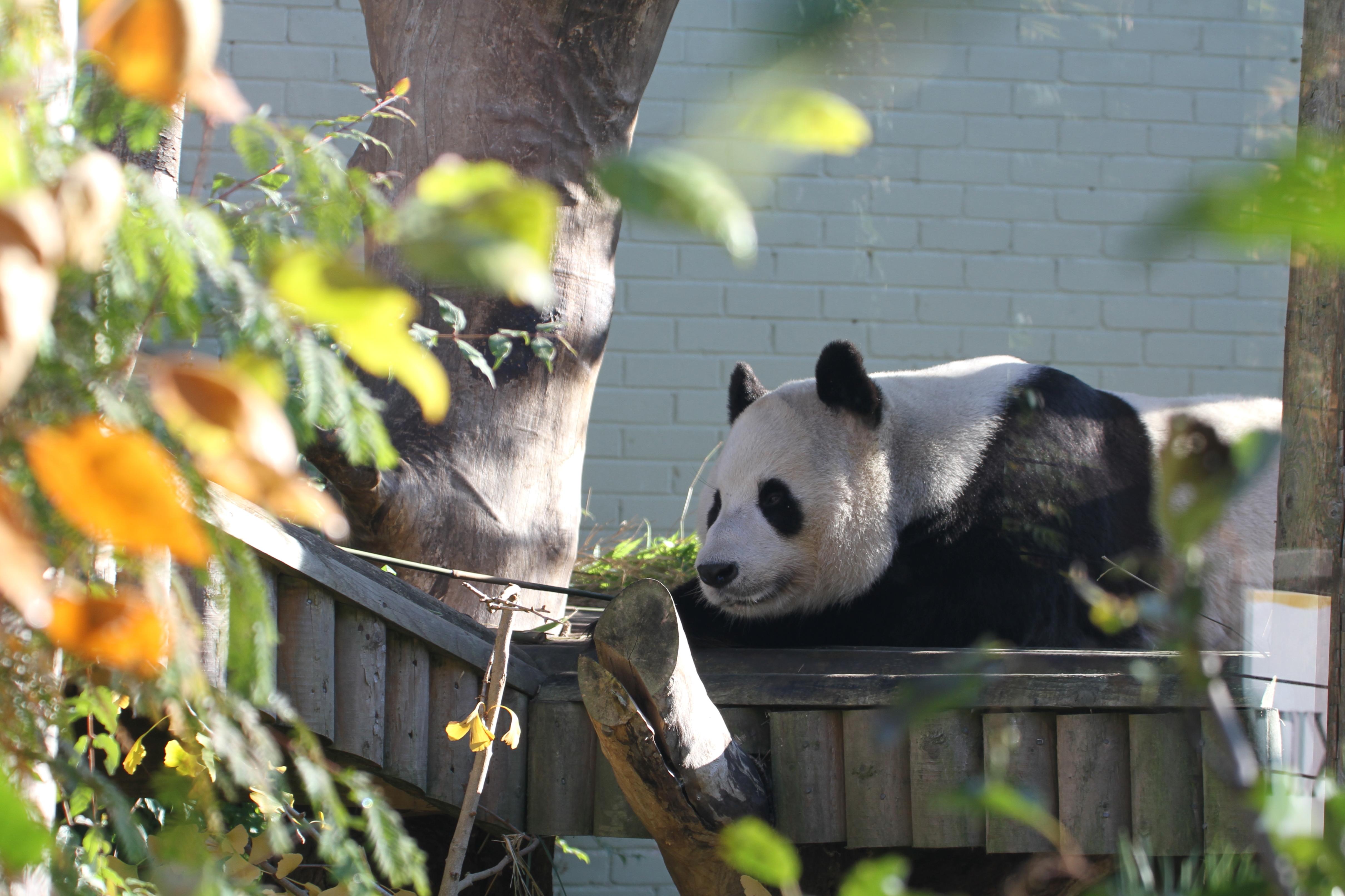 Edinburgh Zoo - Yang Guang PANDA UPDATE