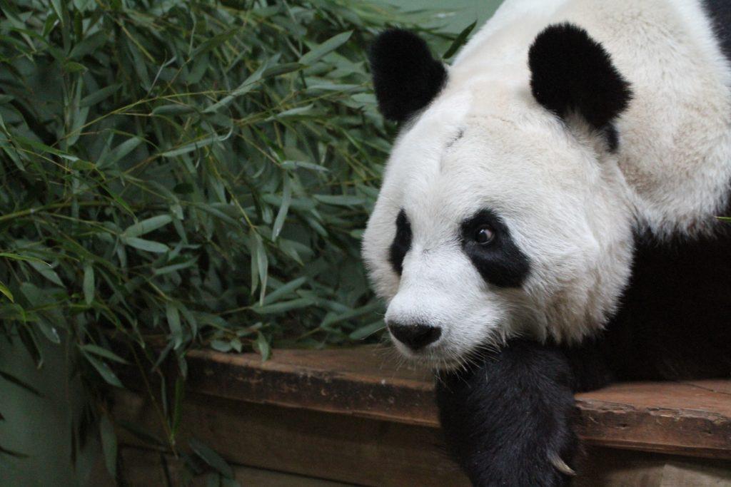 Edinburgh Zoo - Tian Tian POO