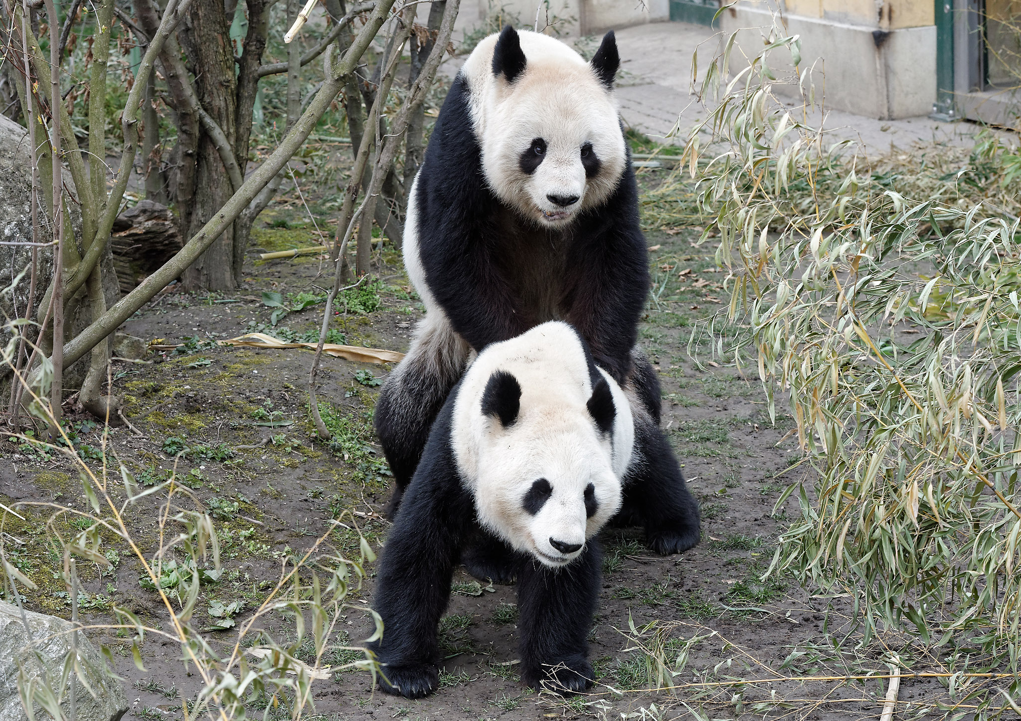 Yang Yang & Long Hui - mating Zoo Vienna 2016