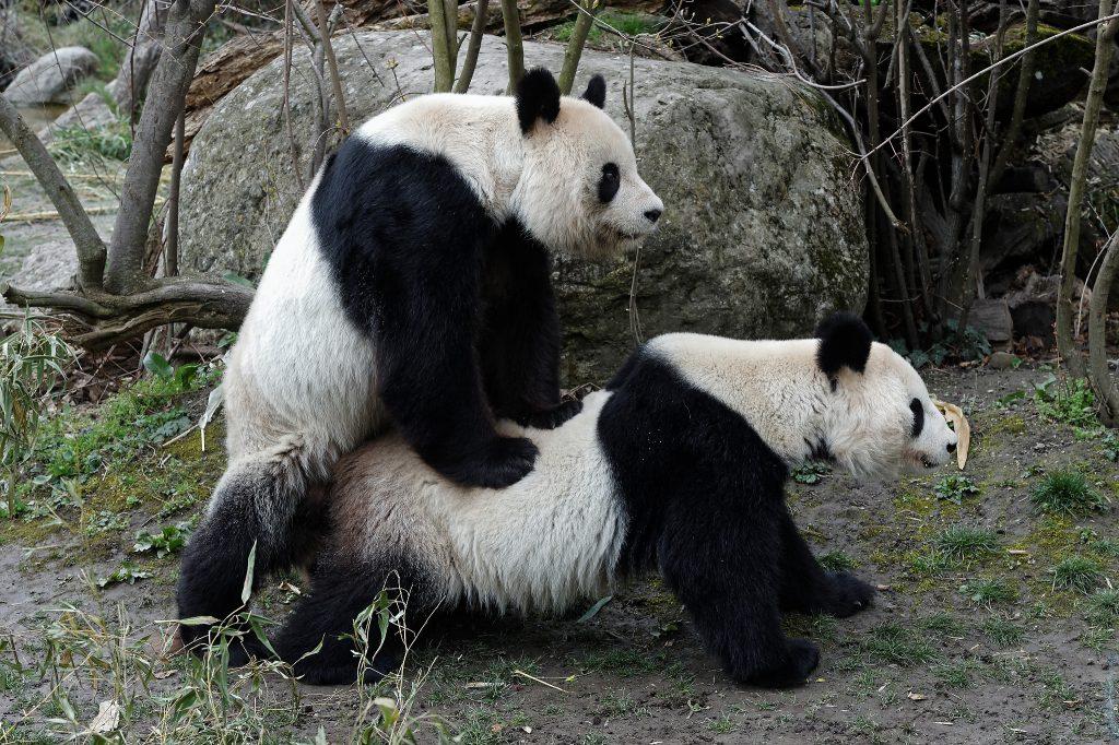 PA_Pandapaarung2