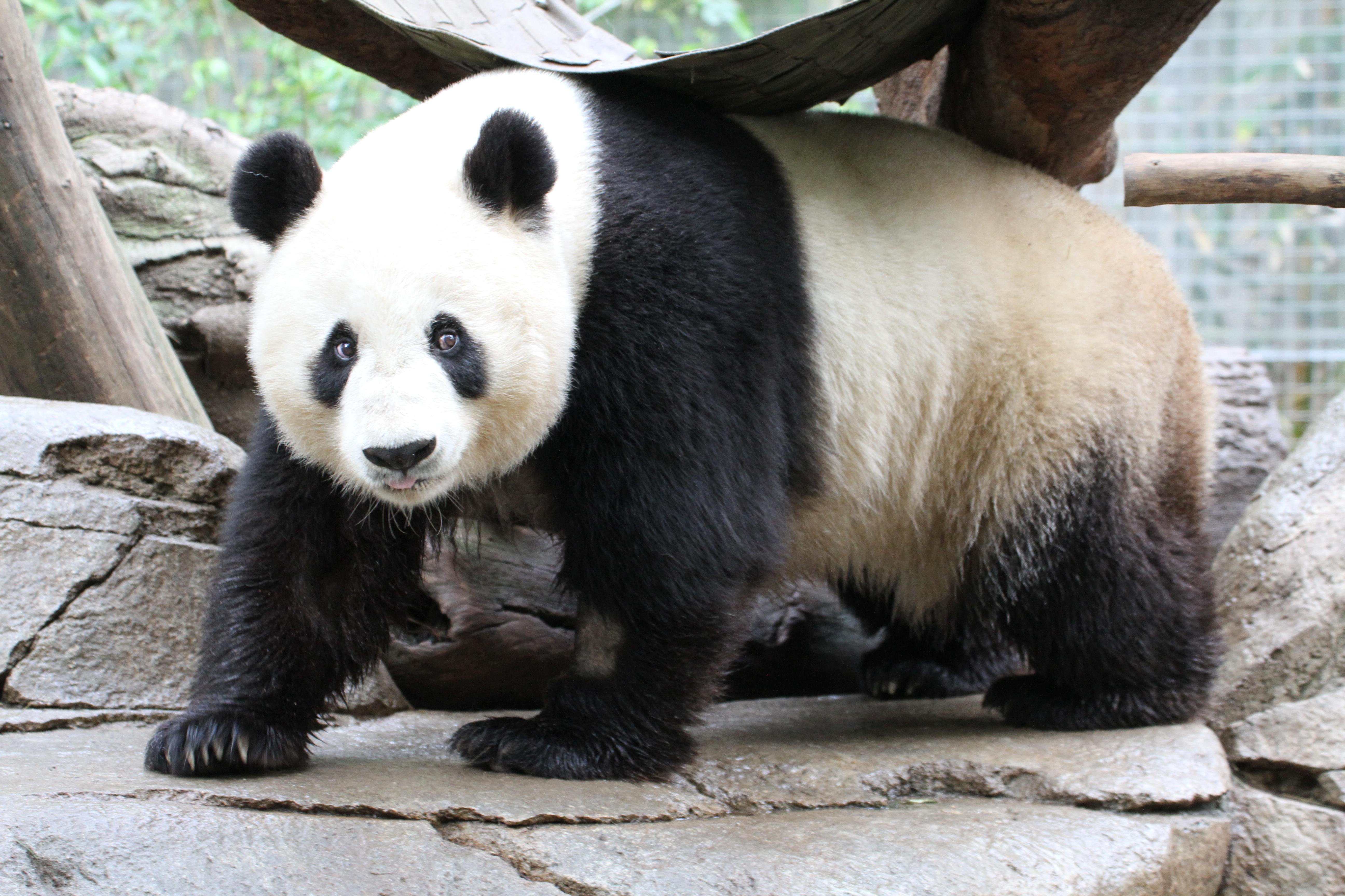 San Diego Zoo - Bai Yun SPRING 2016