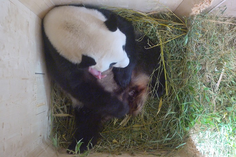 Panda Cub Vienna 2016