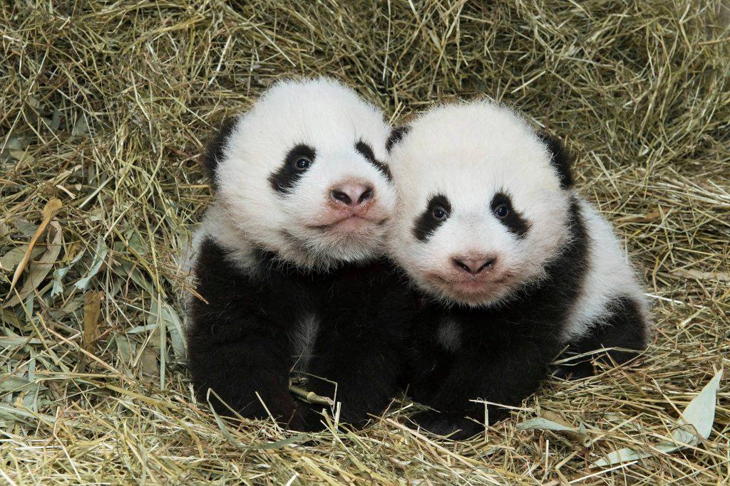 Fu Feng & Fu Ban - Photo Credit: Daniel Zupanc