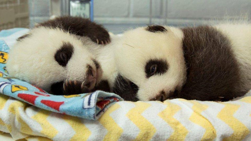 Zoo Atlanta new panda twins are both girls