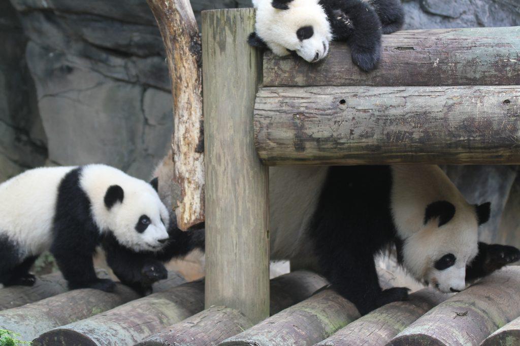 zoo-atlanta-lun-lun-mei-lun-mei-huan