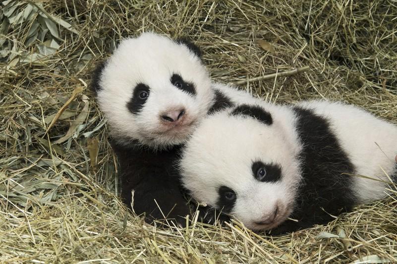 pandas_tgs_zupanc_26_animal_detail_801