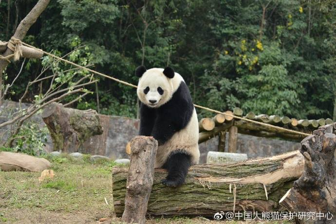 Bao Bao is settling in at her new home at the CCRCGP Du Jiang Yan Base