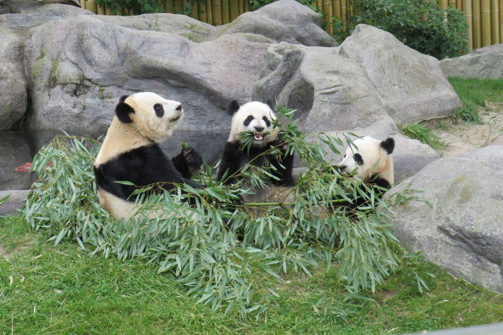 Picture of giant panda habitat