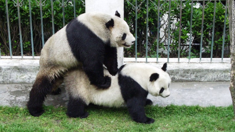 how hero father panda pan pan helped to save his species