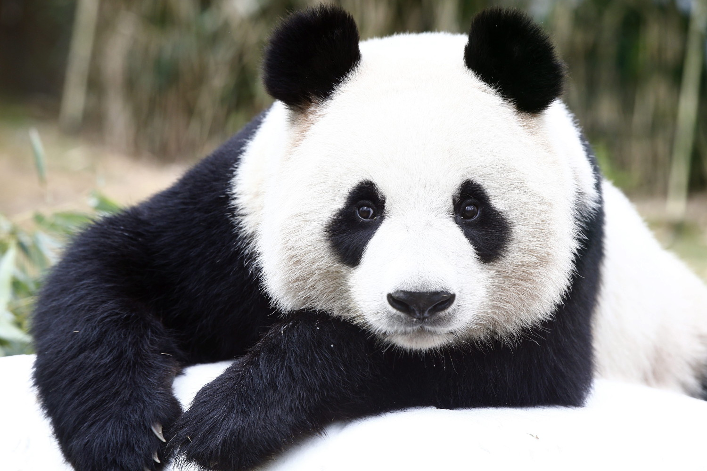 berlin zoo to wel e two new giant pandas