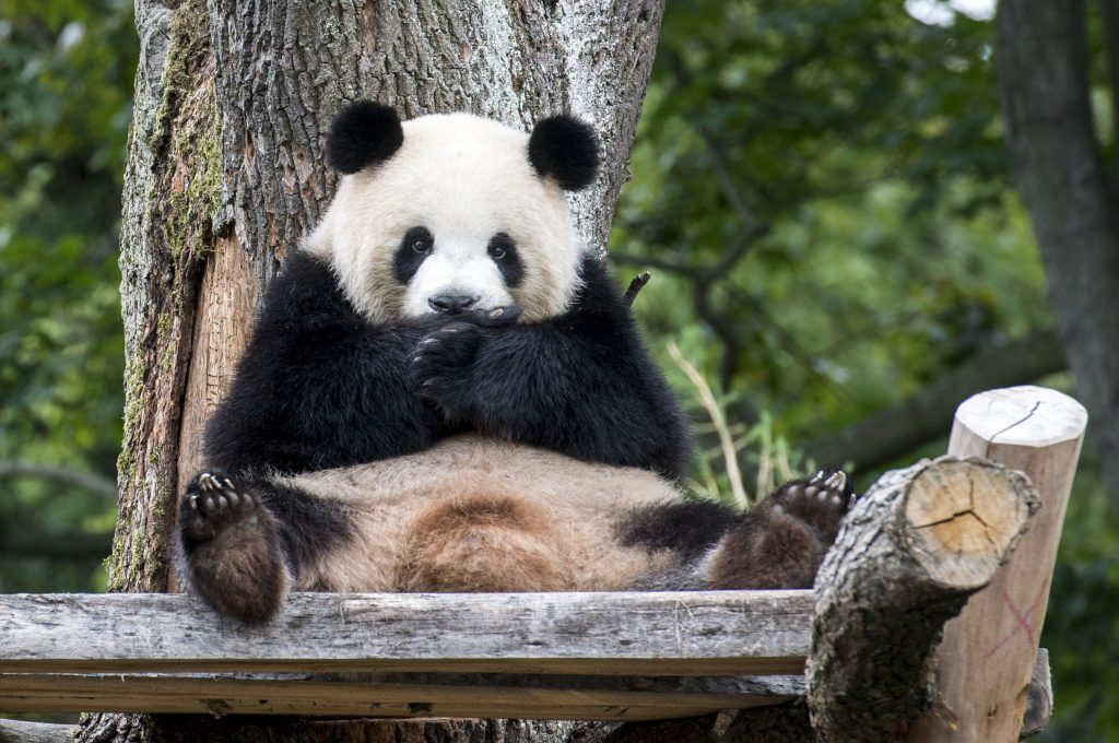 tao tao panda
