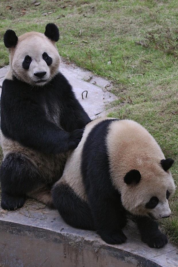 2011-11-07-Changsha-Ecological-Zoo-Bei-Bei-Da-Mao-049
