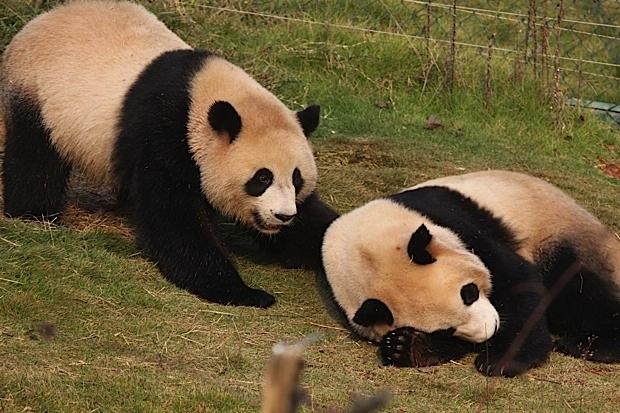 2011-11-10-Changsha-Ecological-Zoo-Bei-Bei-Da-Mao-042