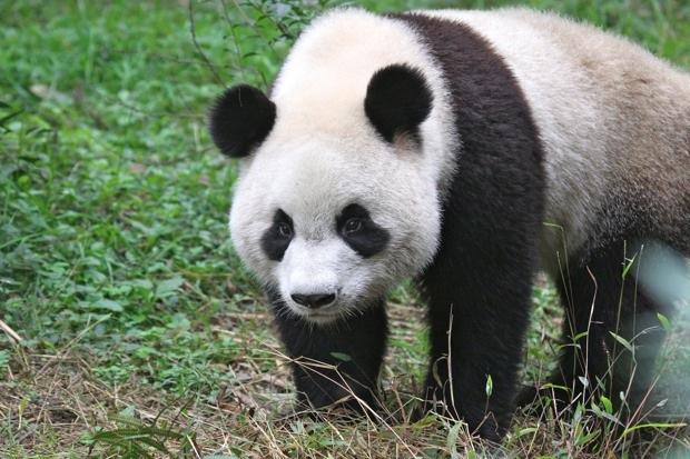 2011-11-12-CRBGPB-Cub-Enclosure-Wen-Li-Ya-Li-Zhi-Zhi-Qi-Qi-002