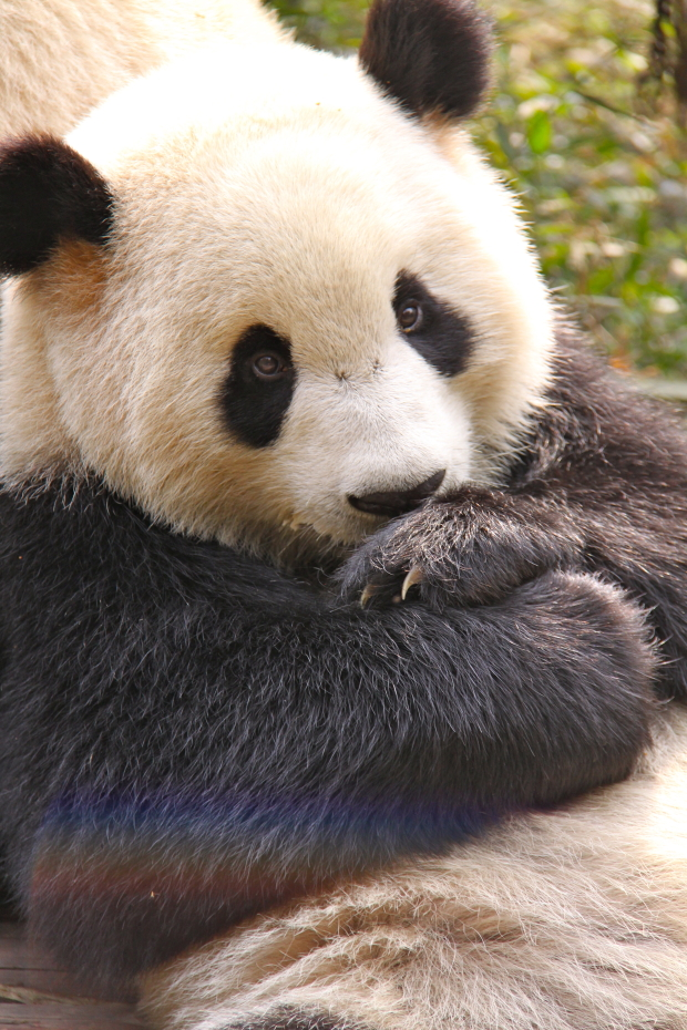 2011-11-13-CRBGPB-Cub-Enclosure-Wen-Li-Ya-Li-Zhi-Zhi-Qi-Qi-005
