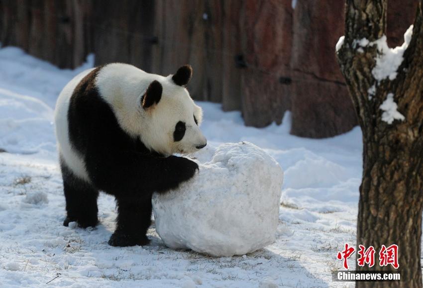 changchun-pandas