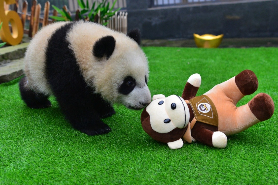Panda cub year of the monkey