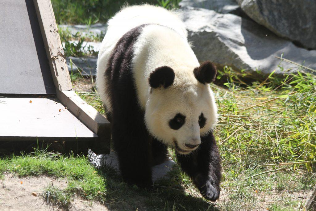 2015 07 02 Zoo Madrid - Hua Zui Ba & Xing Bao 015