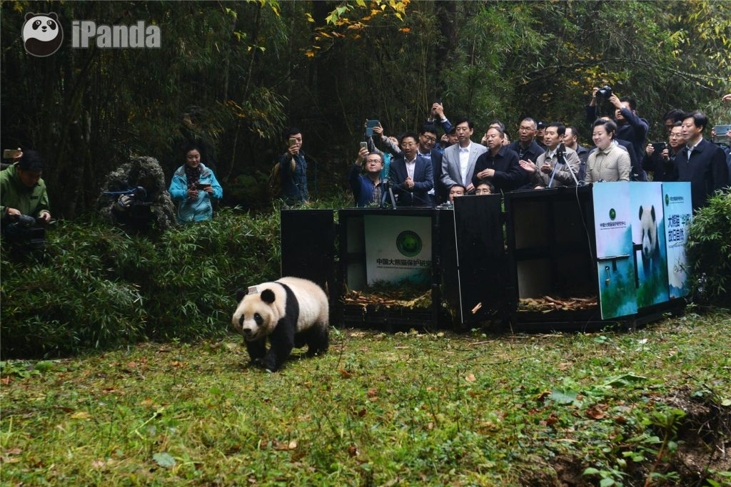Giant Panda Reintroduction 2016