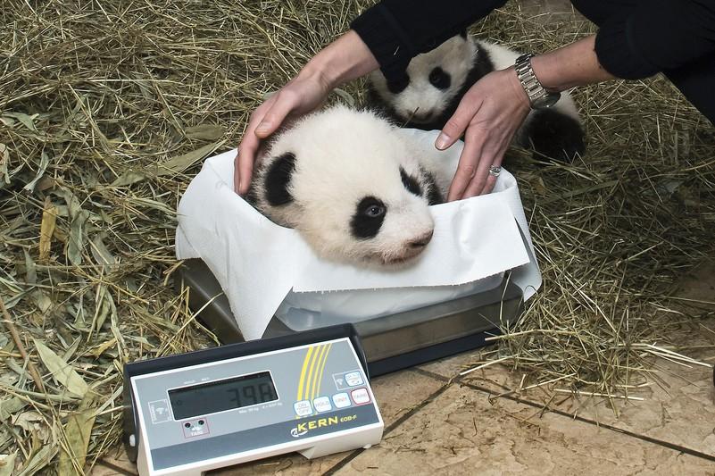 pandas_tgs_zupanc_19_ausschnitt_animal_detail_801